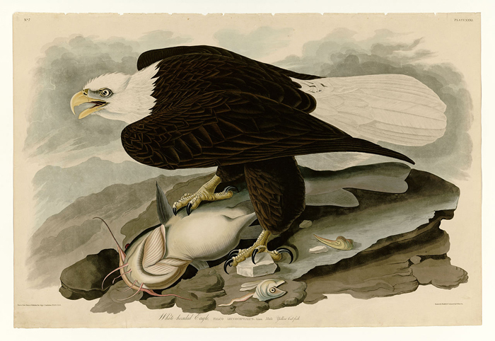 Plate 31 of Birds of America by John James Audubon depicting White-headed Eagle